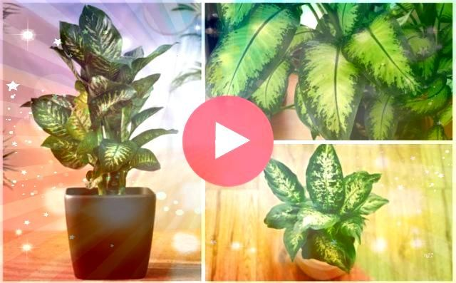 Dumb Cane Growing Guide for Dieffenbachia Dieffenbachia Dumb Cane Growing Guide for Dieffenbachia Dieffenbachia Dumb Cane Growing Guide for Dieffenbachia Learn how to pro...