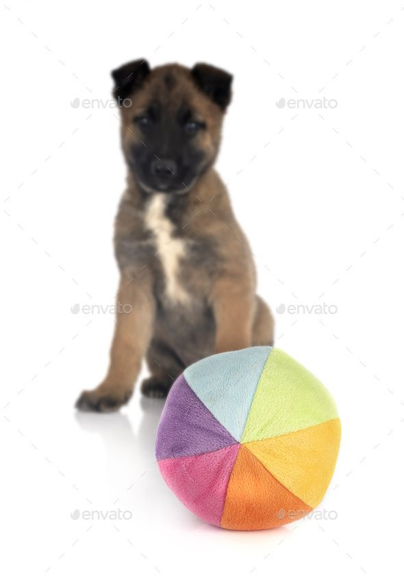 puppy malinois with toy by cynoclub. puppy belgian shepherd with toy in front of white background #AD #toy, #cynoclub, #puppy, #malinois