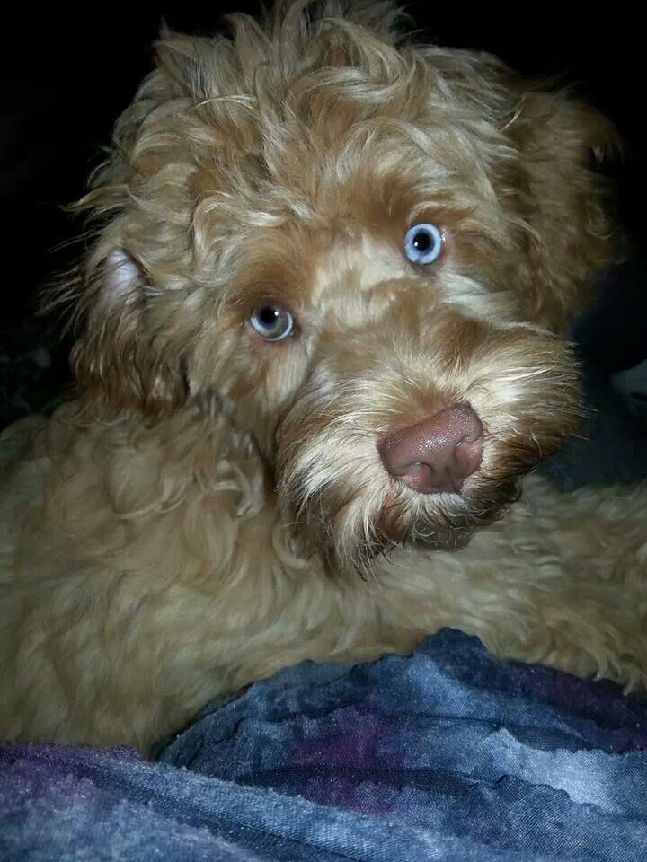 Blue Eyed Labradoodle Pup Chocolate Labradoodle Pup