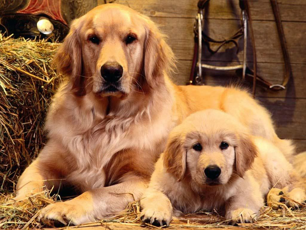 Top 10 Most Popular And Beautiful Dog Breeds In The Philippines Dogs Golden Retriever Retriever Puppy Popular