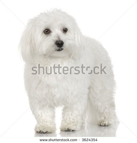 Maltese Adult Dogs Adult Maltese Dog In Front Of A White