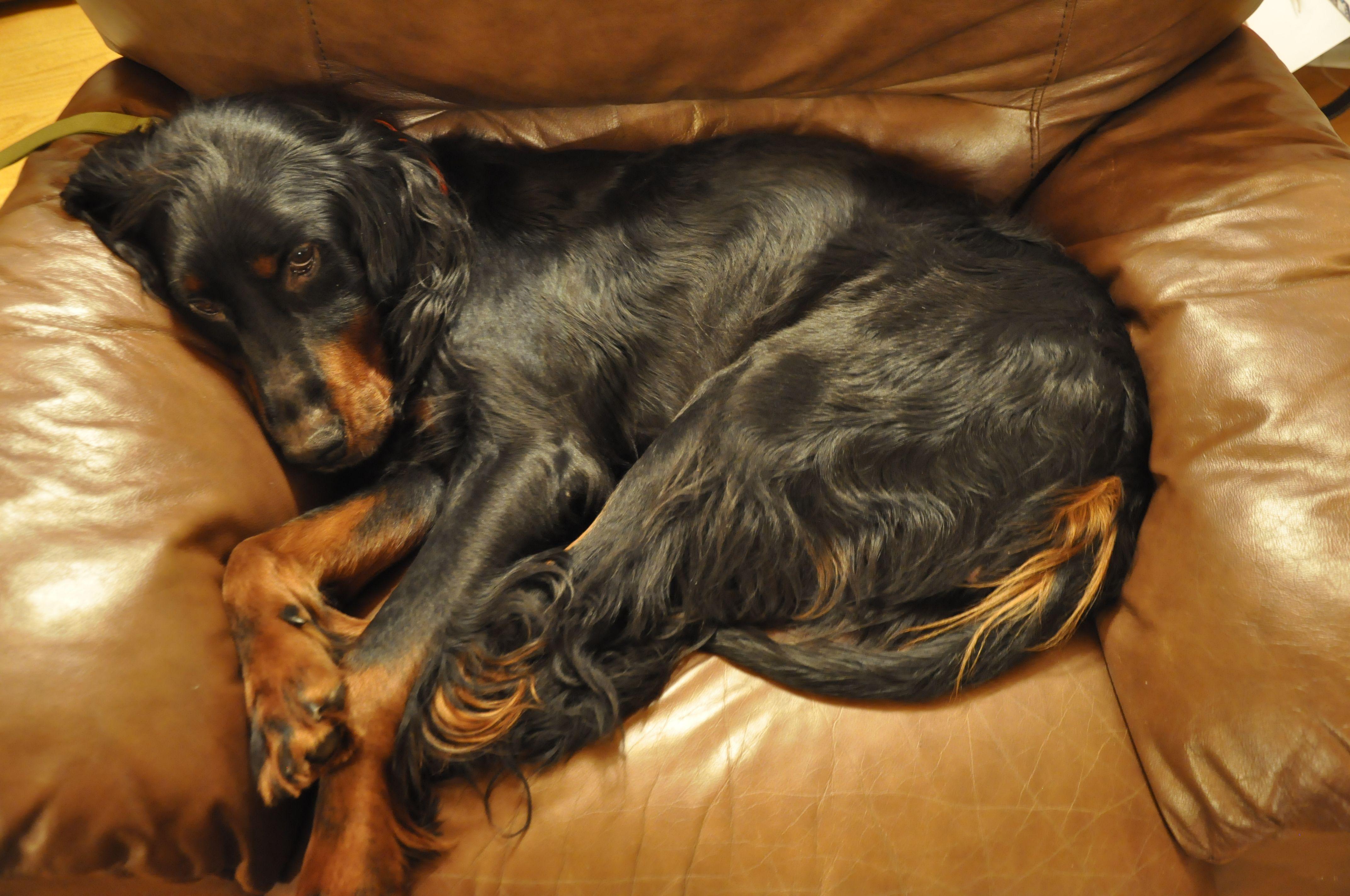 Lazy Setter Gordon Setter Dogs Breeds