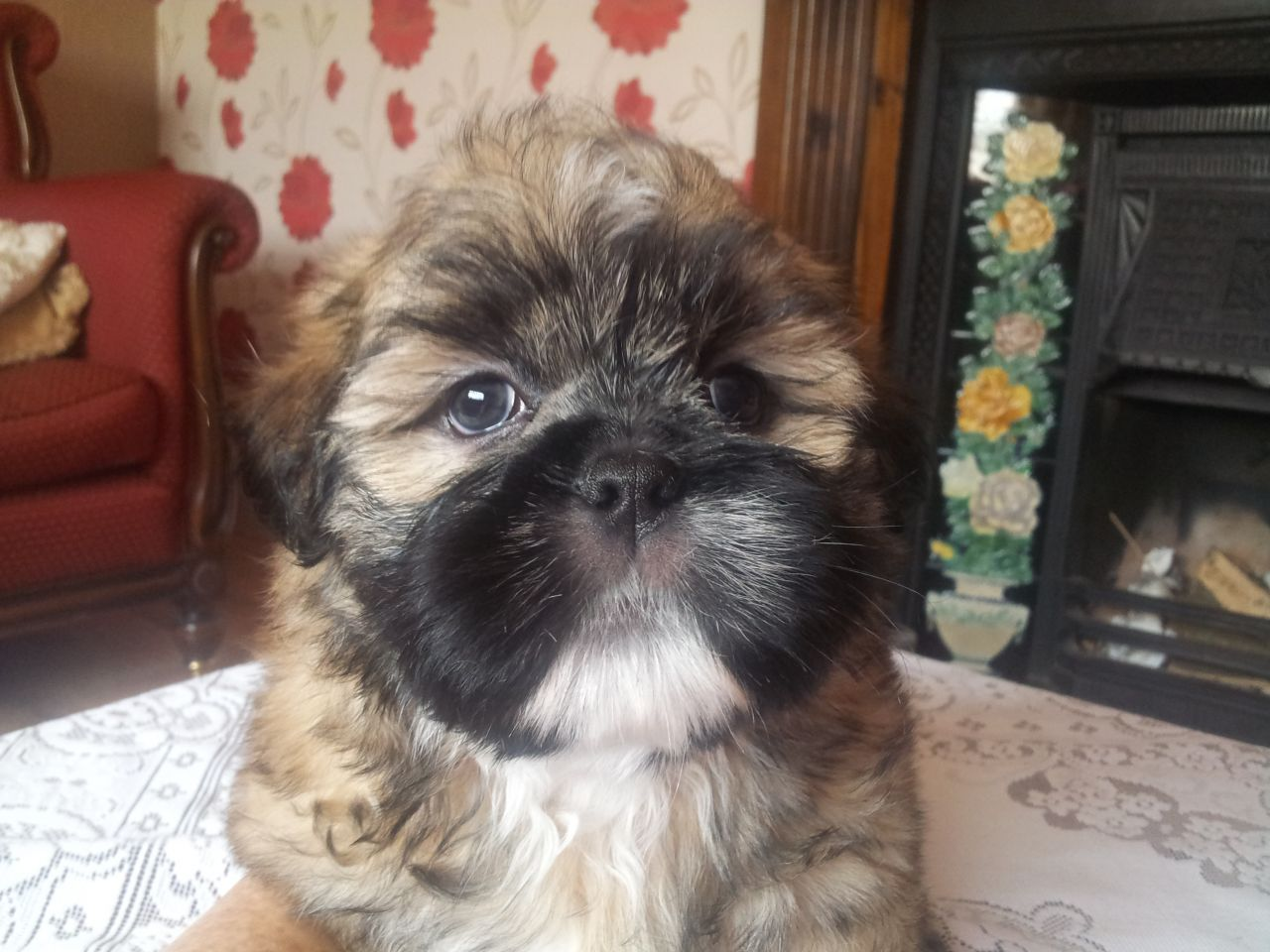 Shih Apso Puppies Puppies Lhasa Apso Dogs