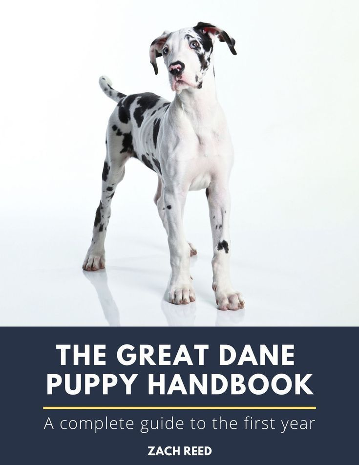 The Ultimate Great Dane Puppy Guide In 2020 Great Dane Puppy