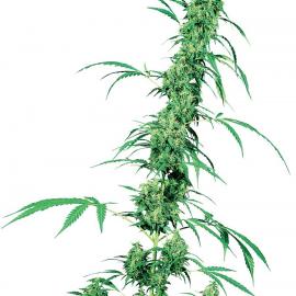 Fruity Juice - strain - Sensi Seeds   Cannapedia