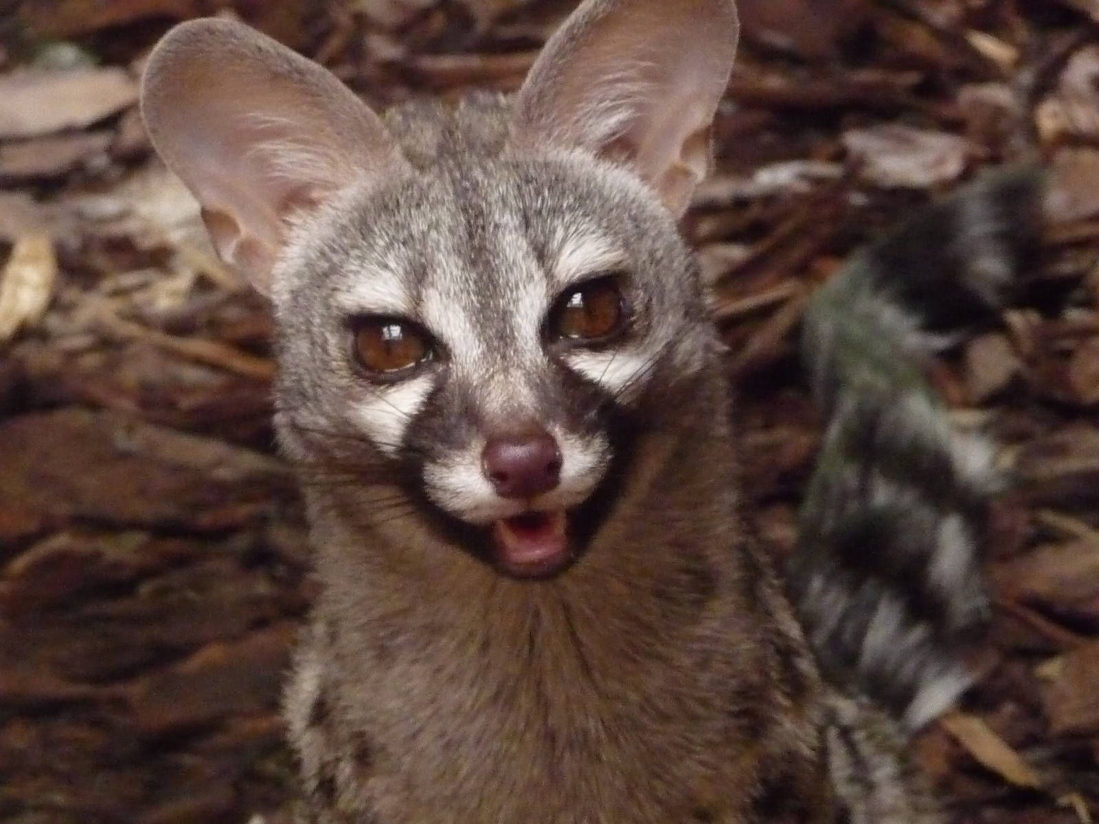 common Google Search Animals, African civet