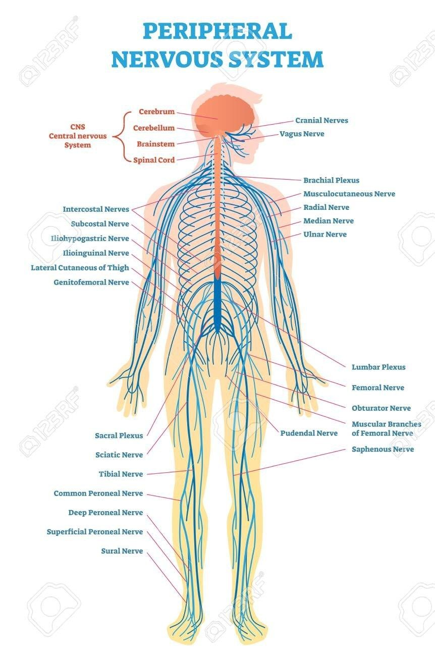labeled picture of the nervous system peripheral nervous system medical vector illustration diagram [ 862 x 1300 Pixel ]