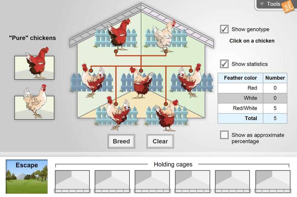 Gizmo-- Chicken Genetics