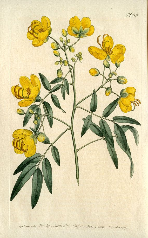 Hand Colored Engraving By T Curtis March 1 1803 Botany