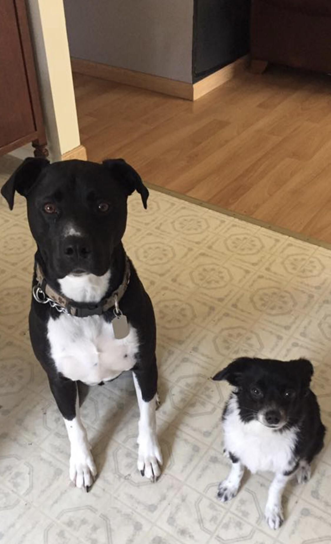 Theyre Like Arnold Schwarzenegger And Danny Devito In Twins Dog Dogs Pic Pics Picture Pictures Puppy Pupp Puppy Checklist Puppies Arnold Schwarzenegger