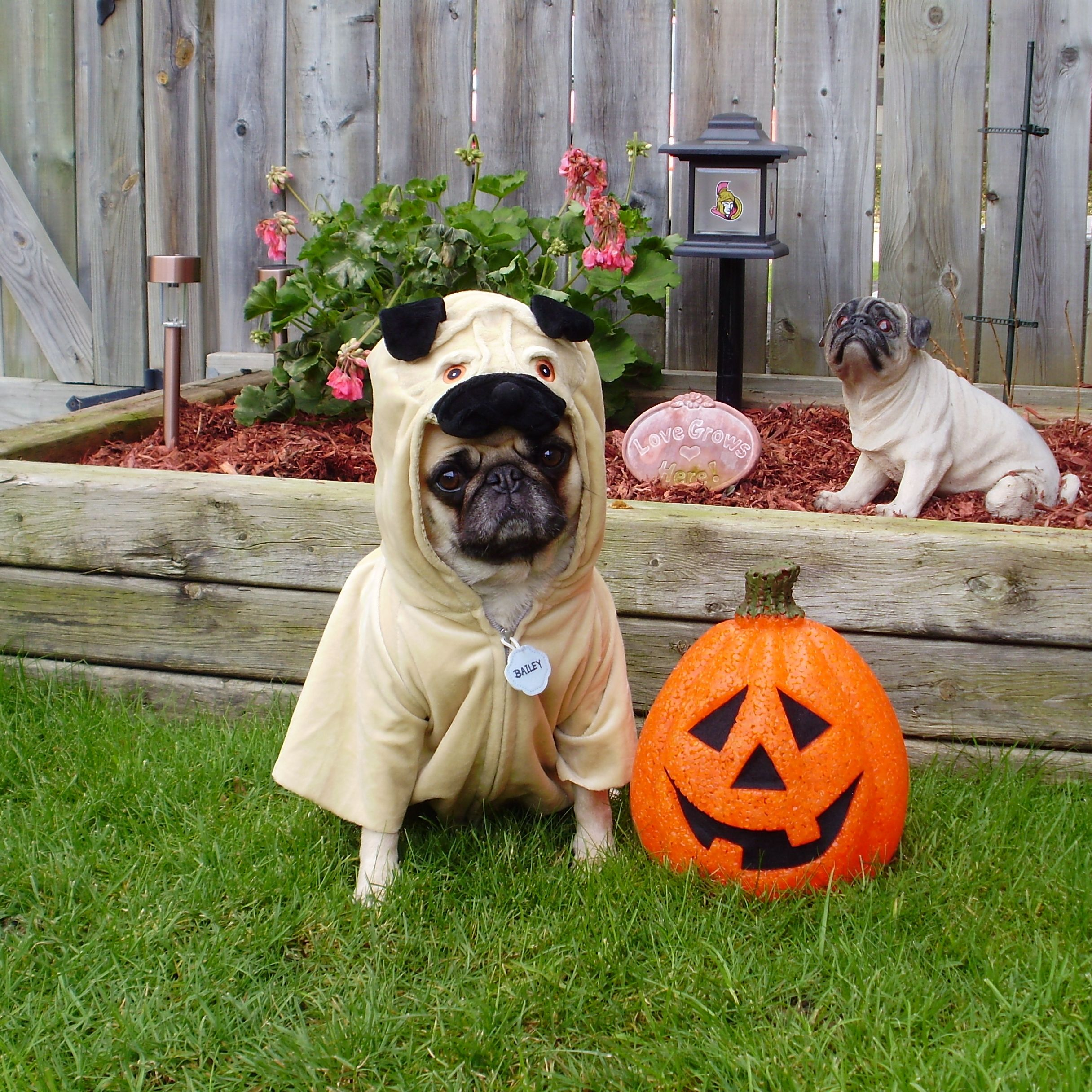 pug wallpaper screensaver background our pug bailey puggins happy halloween - Pugs Halloween