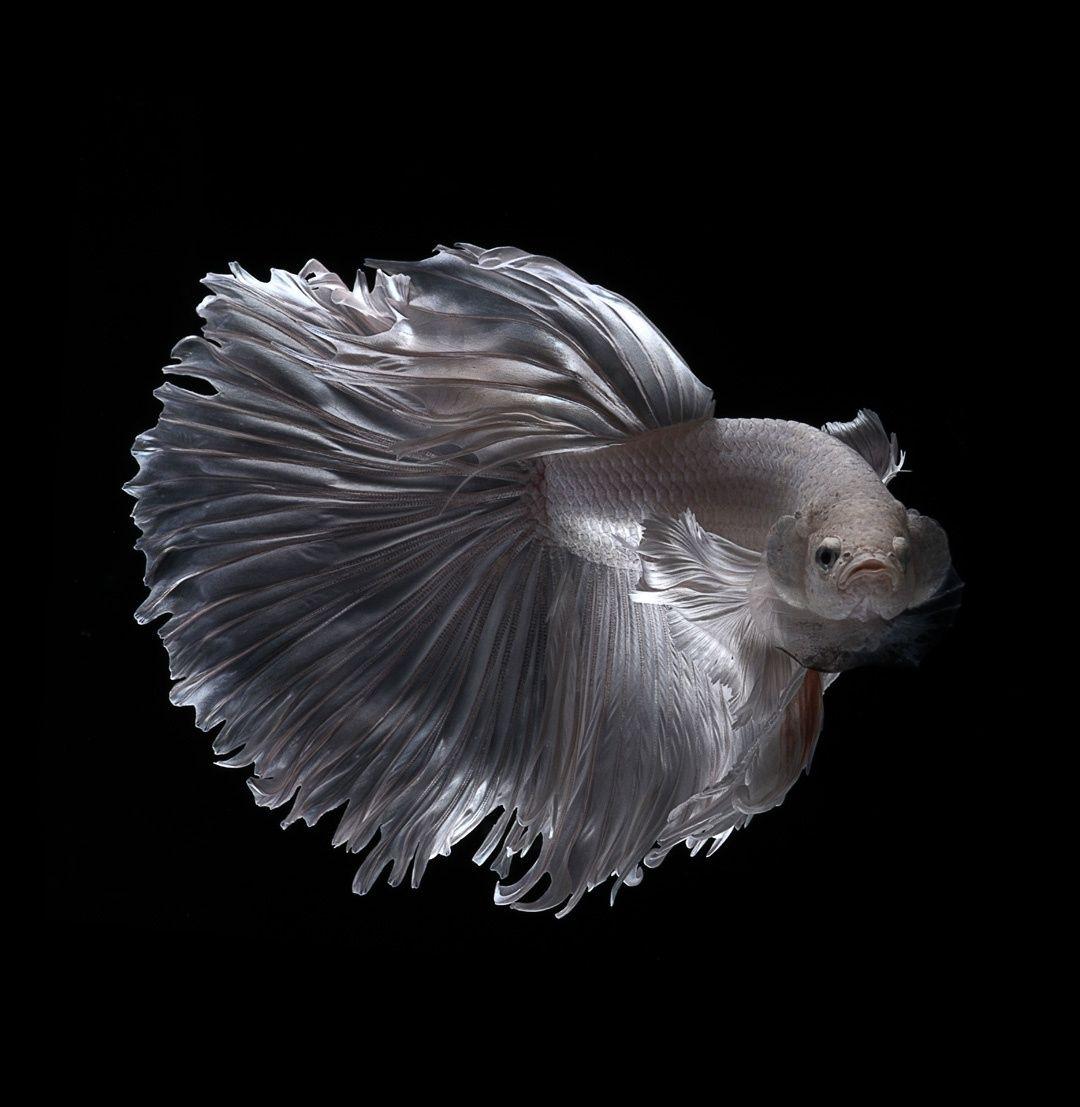 White Ghost Ii Betta Betta Fish Fish