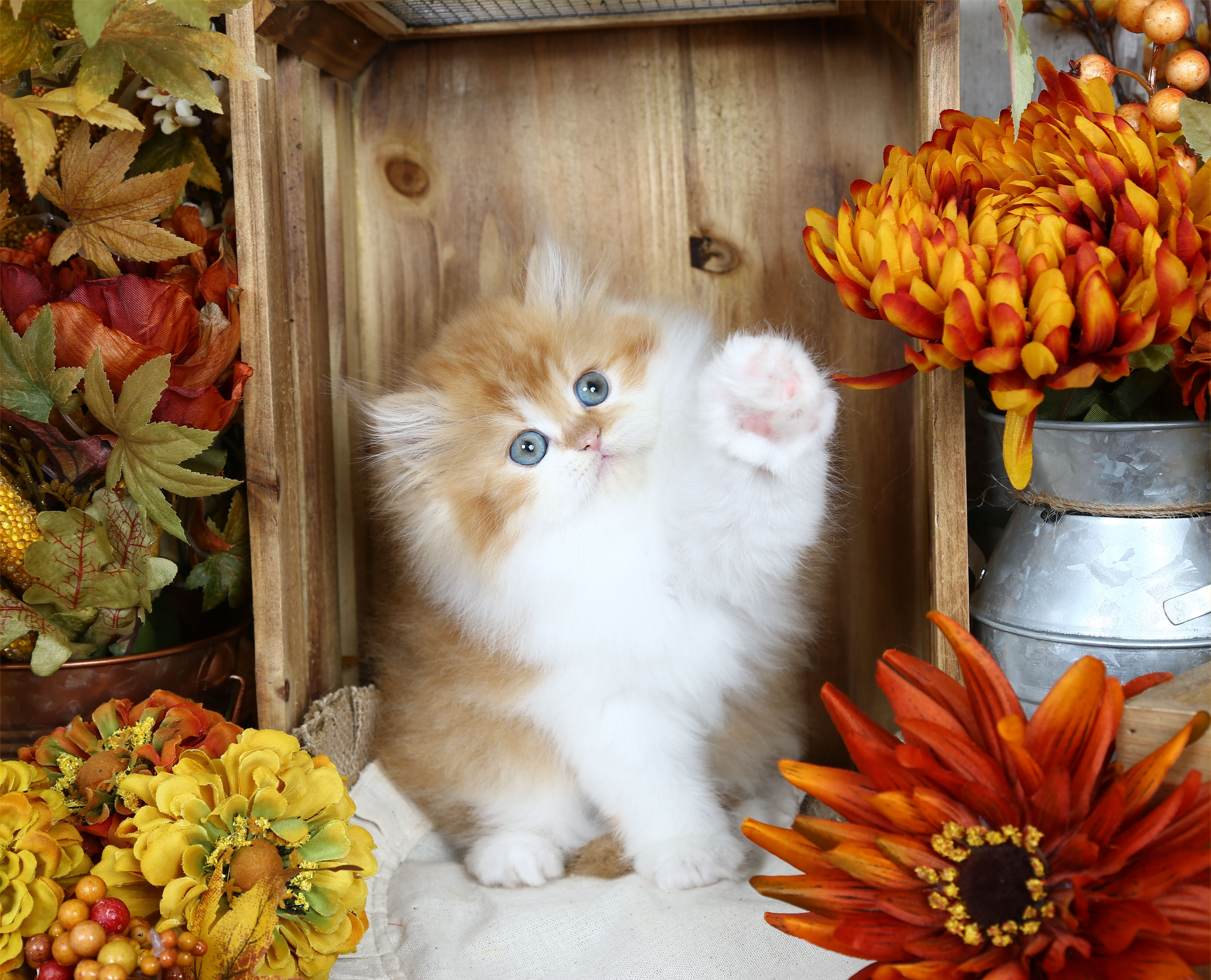 Oliver Click Here Persian kittens for sale, Persian