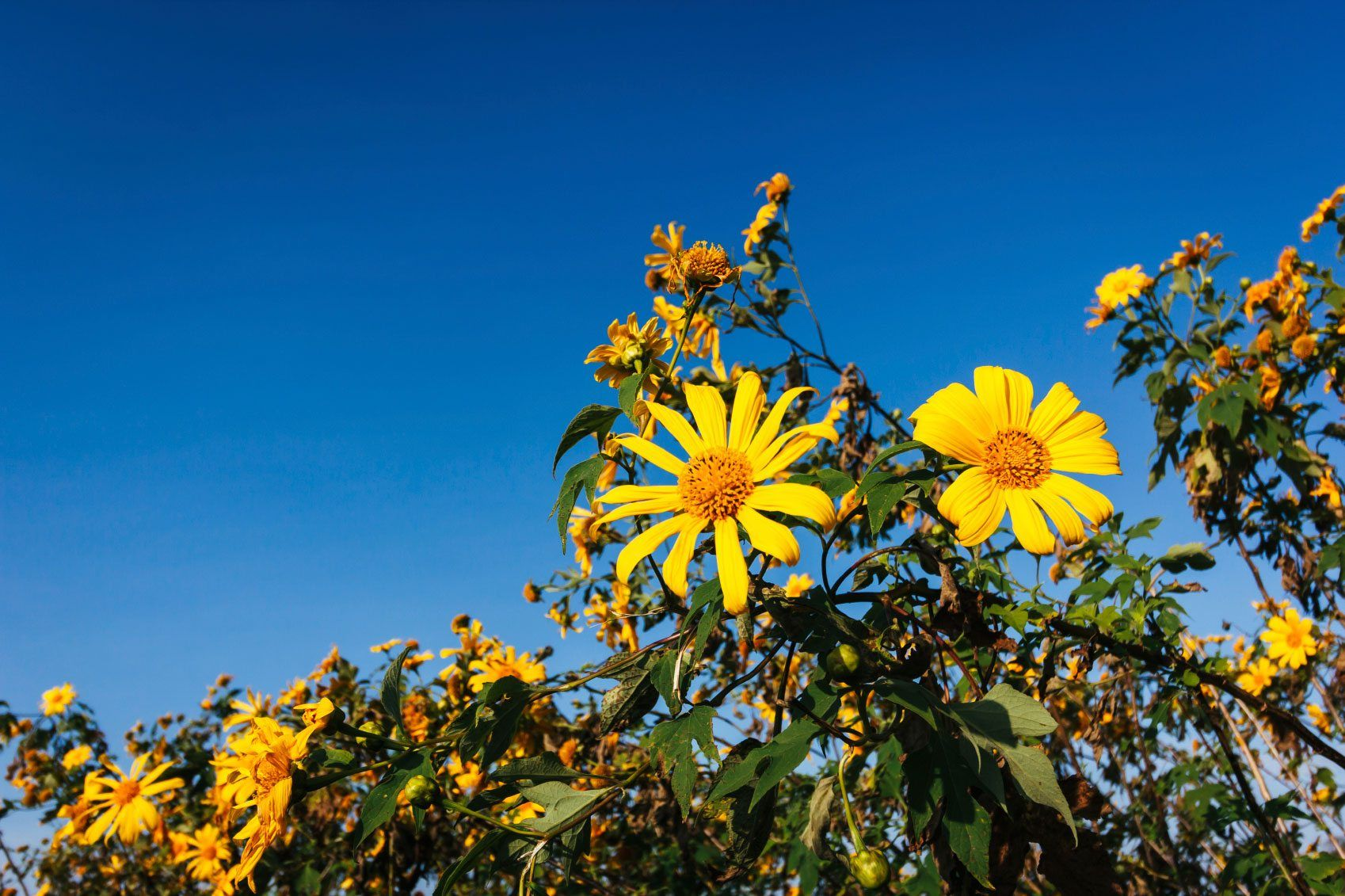 Planting Mexican Sunflower Learn How To Grow Mexican