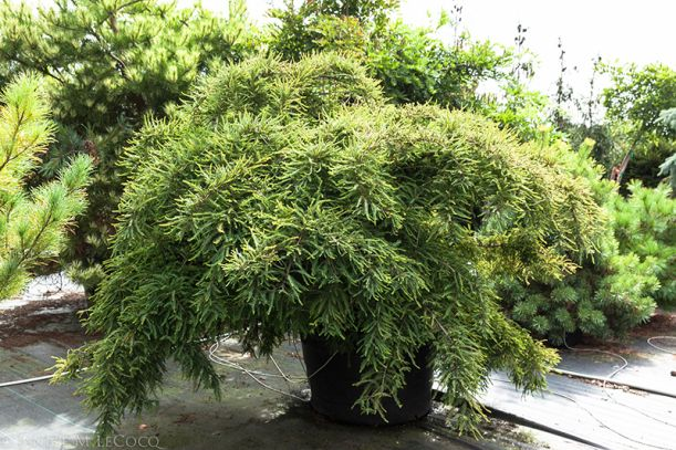 Conifers Rare Tree Nursery Conifer Kingdom