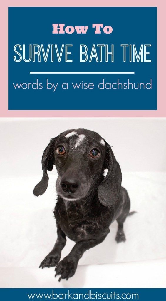 How To Survive Bath Time Words From A Wise Dachshund