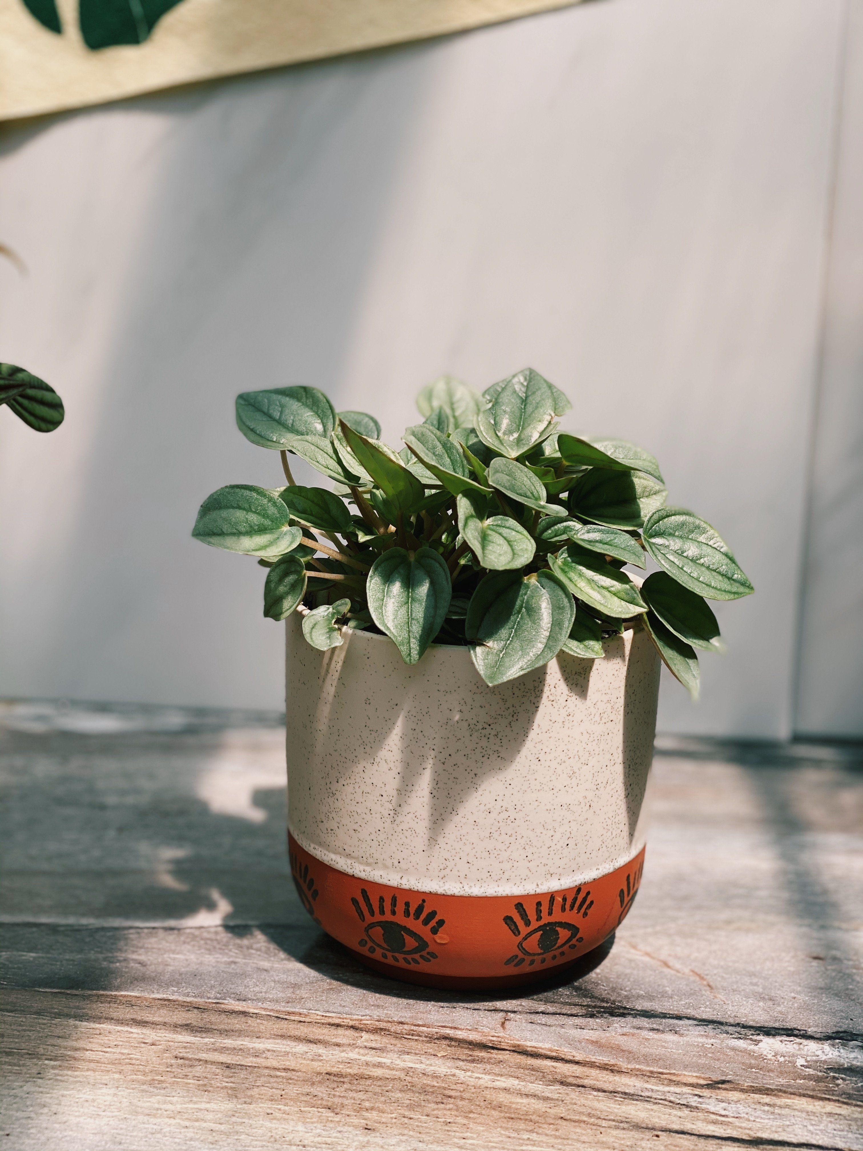Seeing Eye Napoli Peperomia In 2020 Peperomia Garden Pots Plants