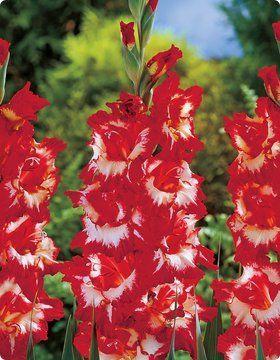 Gladioli Shu Gladiolus From Van Bloem Gardens Gladiolus Flower Gladiolus Bulb Flowers