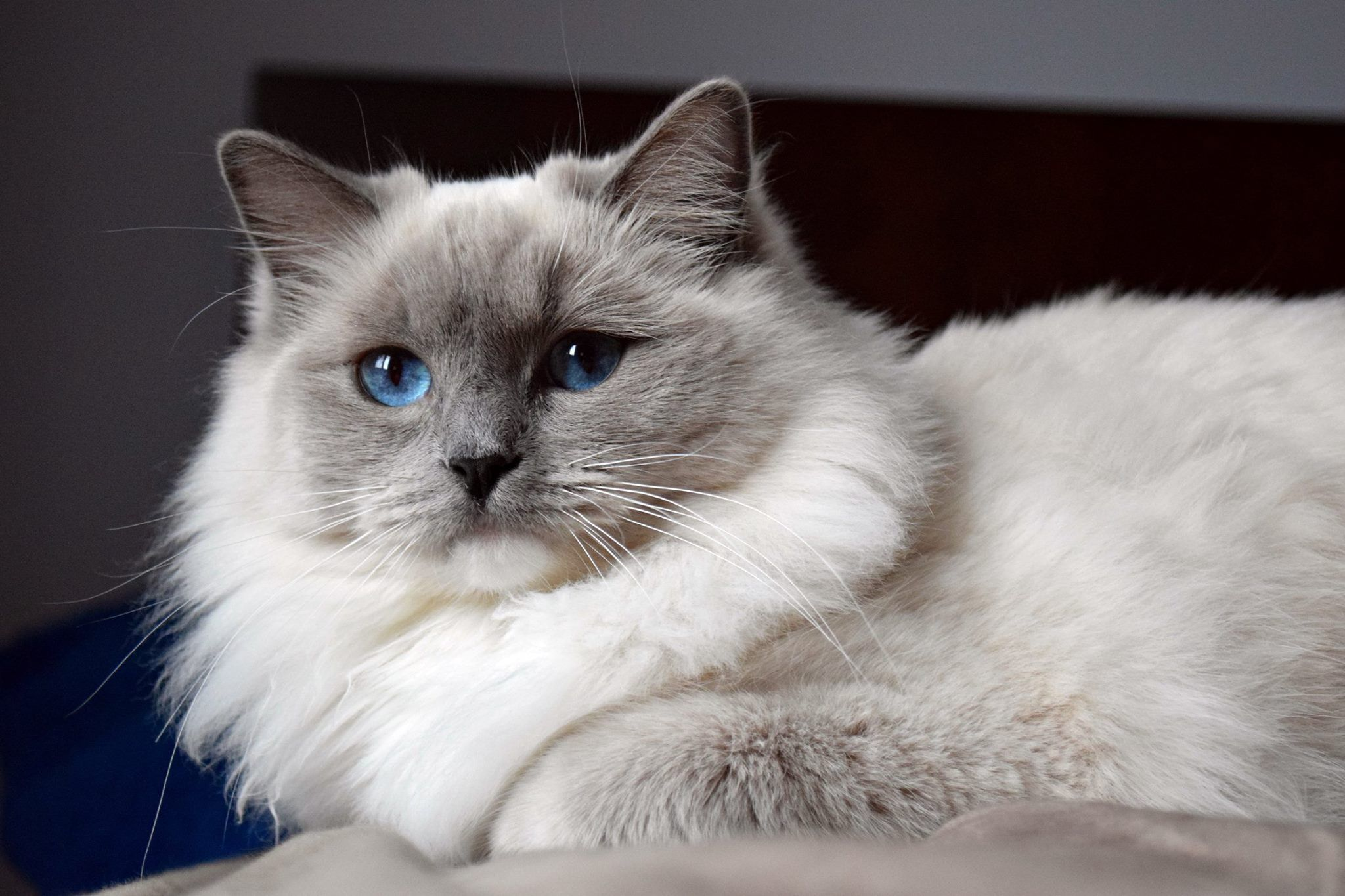 No Pictures Of You Yet Leo But I Know You Are Gorgeous Ragdoll Cat Ragdoll Kitten Cat Facts