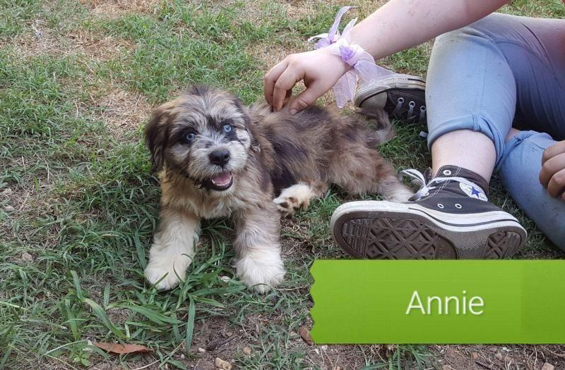 Adopt Annie On Boxer Rescue Australian Shepherd Shepherd Mix Dog