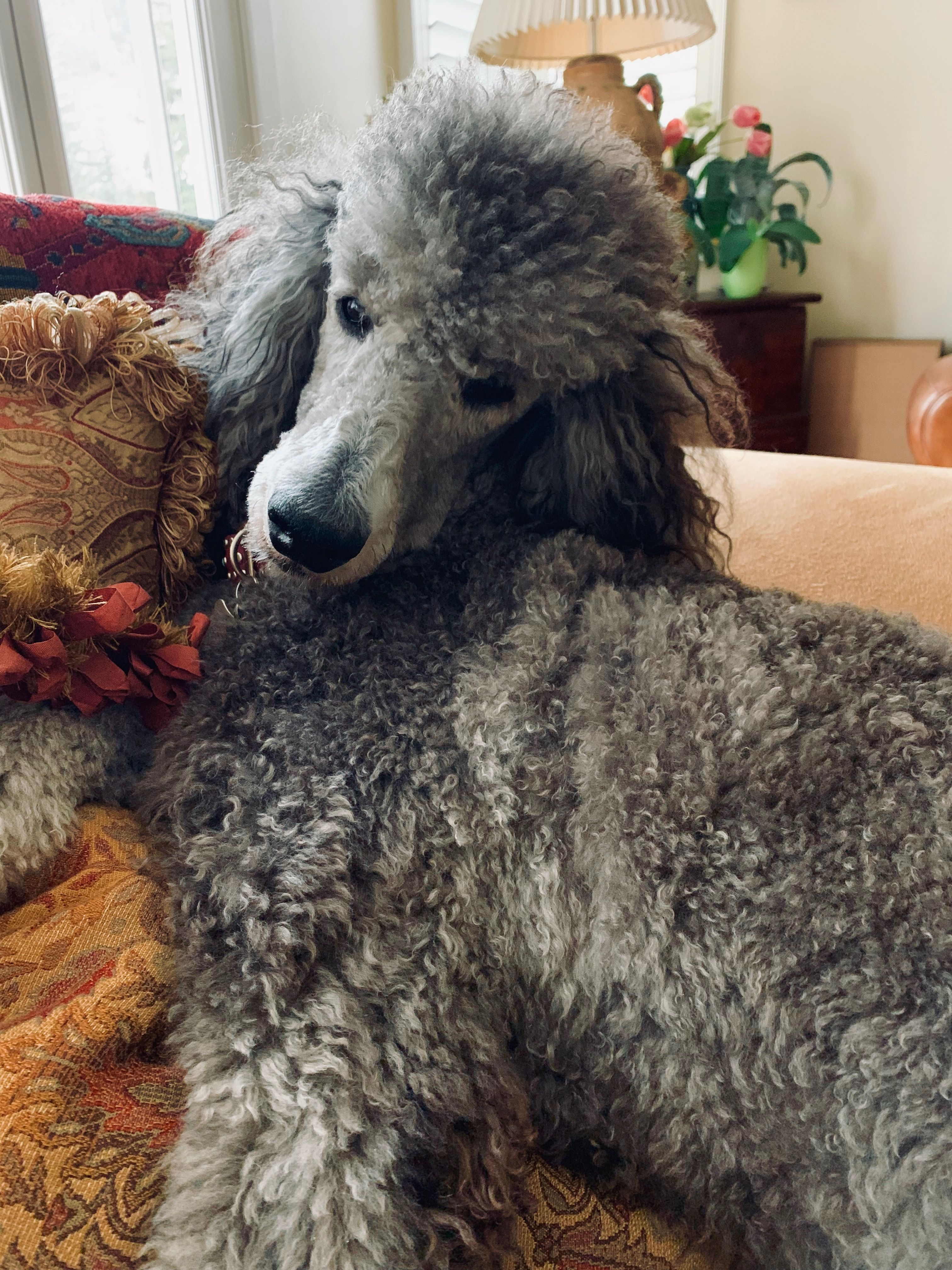 Pin By Susie Triplett On Poodle Craze Poodle Dog Love Puppy Love