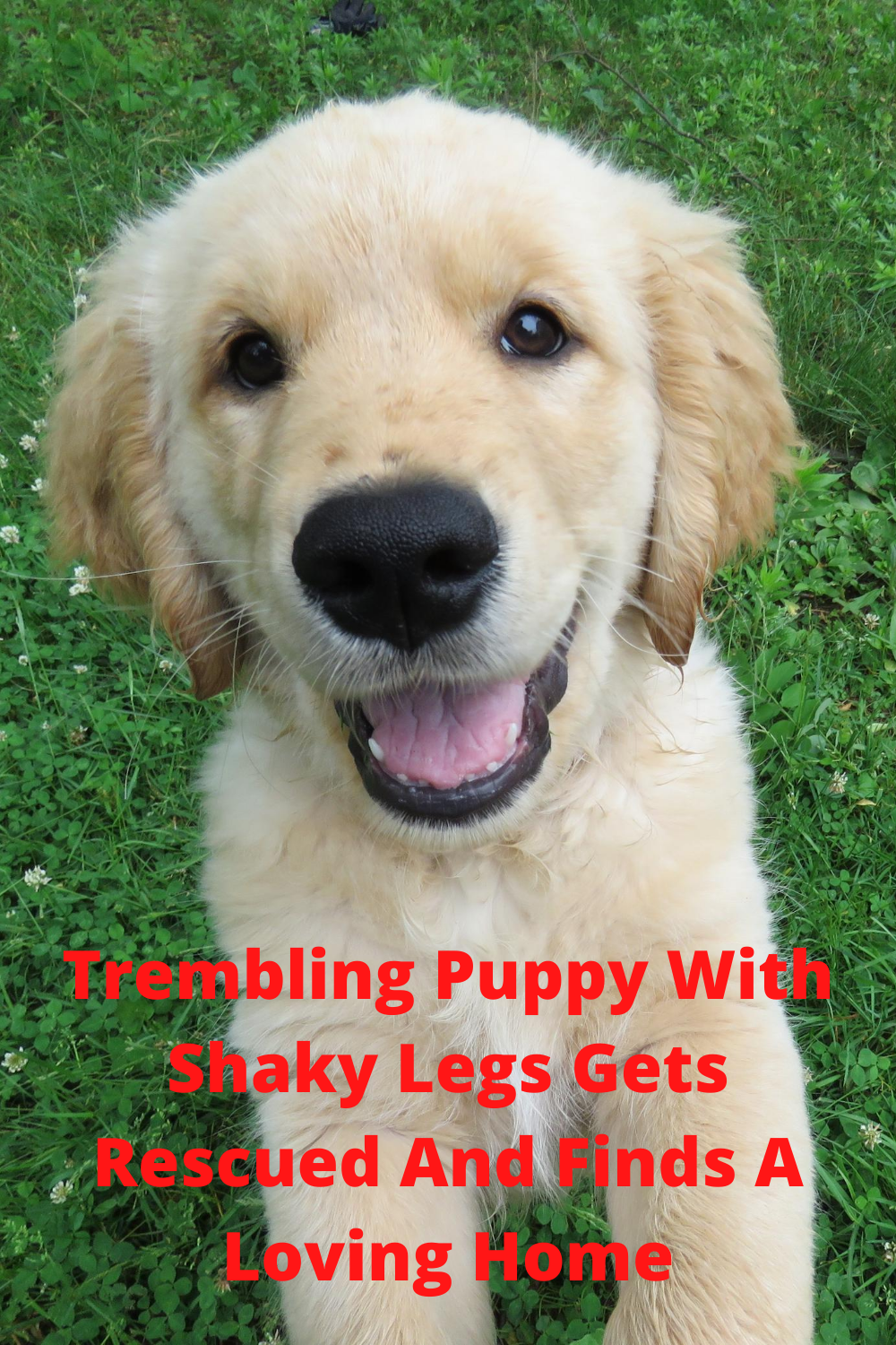 Trembling Puppy With Shaky Legs Gets Rescued And Finds A Loving Home Dog Remedies Dog Allergies Remedies Canine Allergies