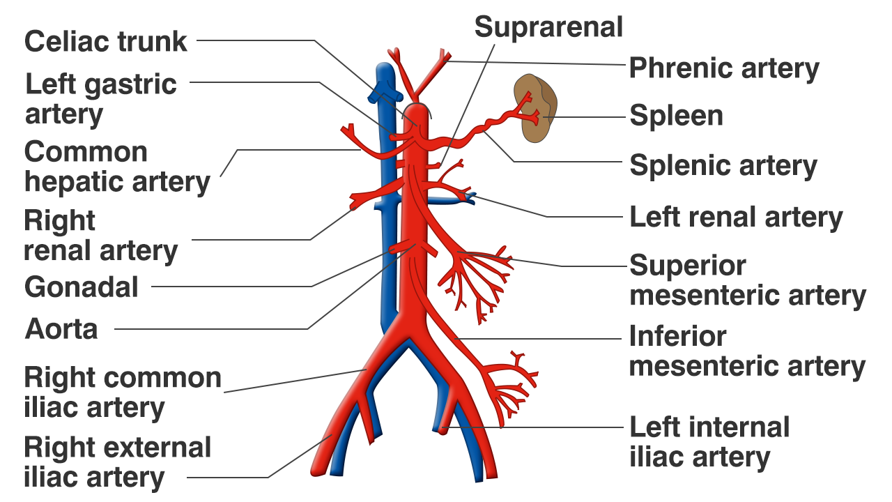 E Superior Mesenteric Artery Supplies Oxygenated Blood To The Lower