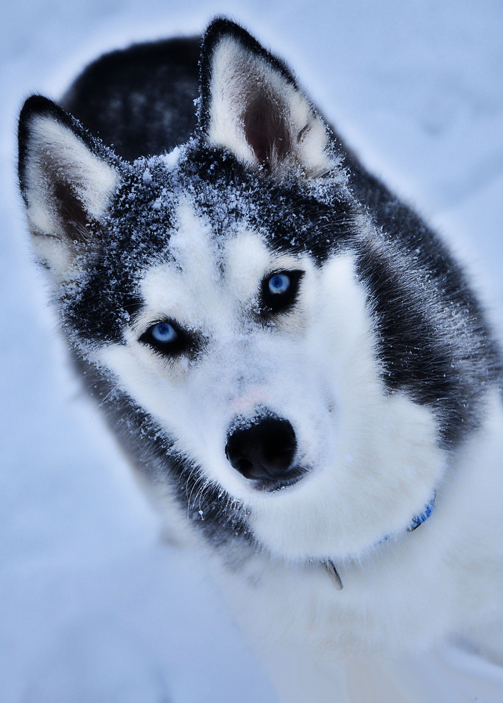 The Different Types of Siberian Huskies Dog breeds
