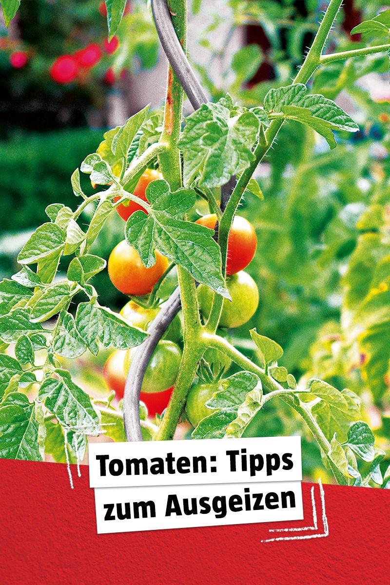 Tomaten Richtig Ausgeizen So Geht S In 2020 Garten Anpflanzen Garten Pflanzen Gartenarbeit Fur Anfanger