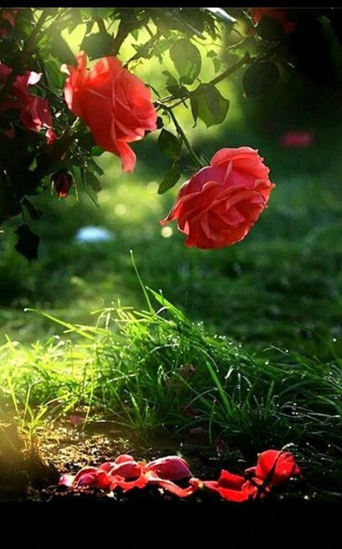 Superbosanska Krajina Google Rose Flower Wallpaper Flower Download Beautiful Rose Flowers