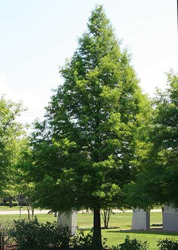 Bald Cypress, Native to NW Arkansas and NE Oklahoma Photo ...