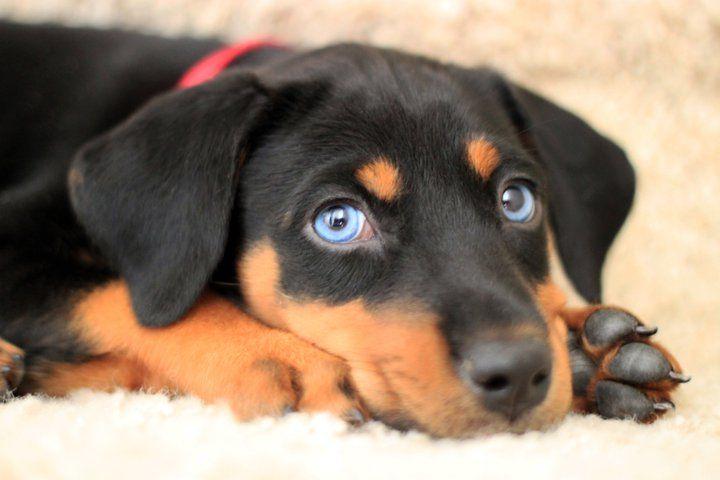 My Baby Girl Ellie Doberman Lab Husky Mix I Love Her Eyes Doberman Puppy Doberman Mix Doberman Pinscher