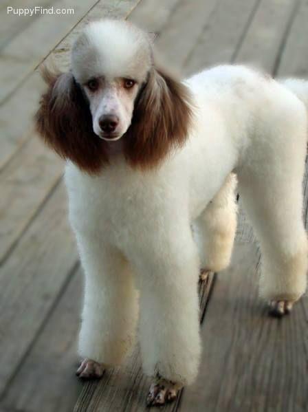 Pin By Jj Pierce On Poodles Poodle Dog Standard Poodle Poodle Puppy