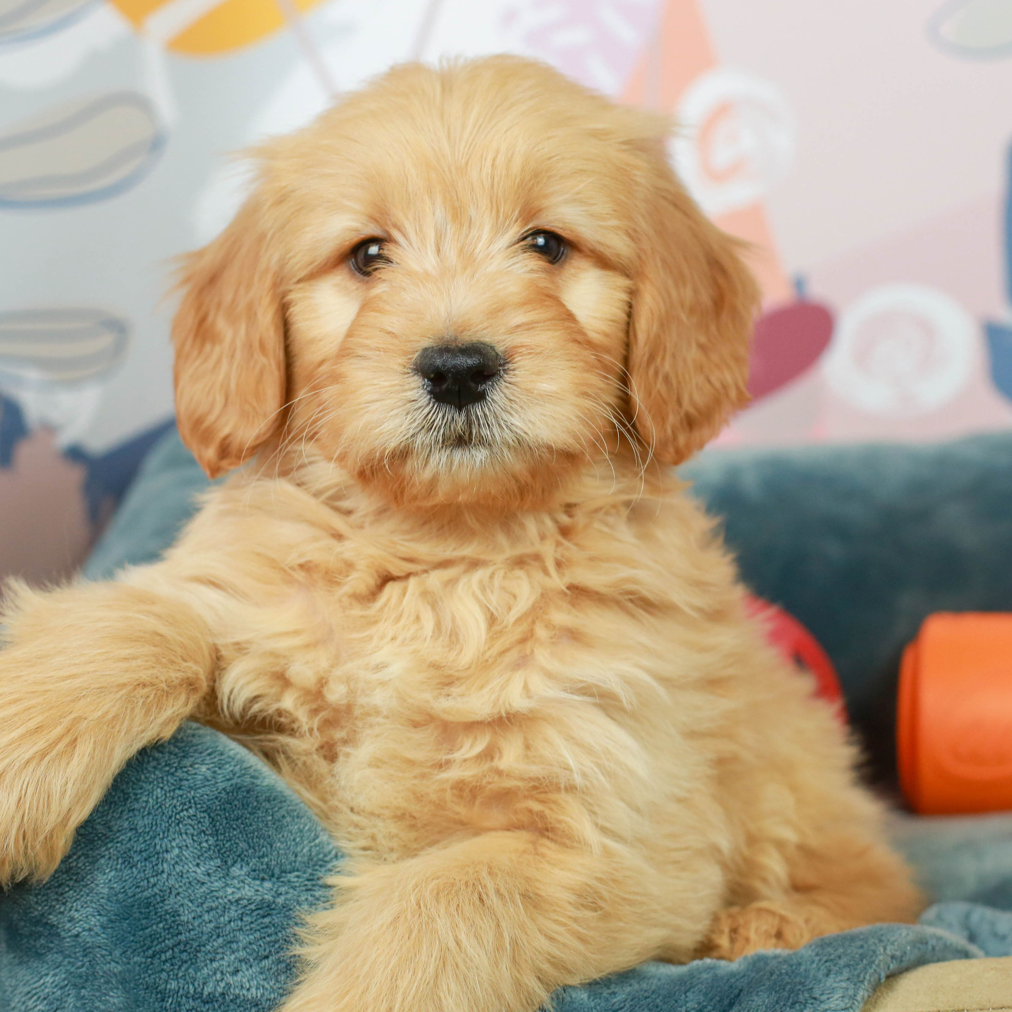 This Golden Nugget Is Sure To Steal Your Heart With His Adorable