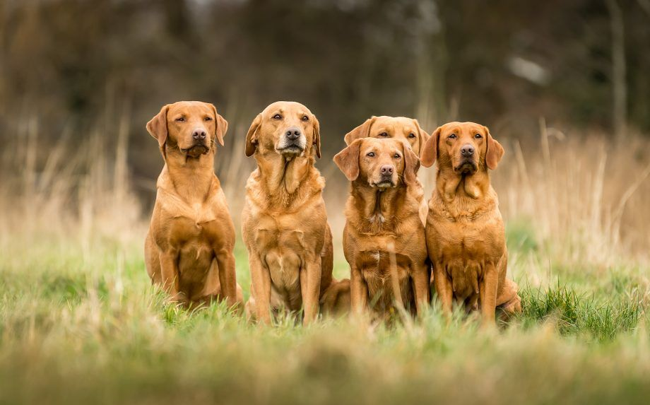 Fox Red Labradors Why Red Is The New Black Country Life Fox Red Labrador Red Labrador Fox Red Lab