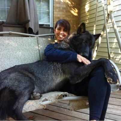 Black Wolf Hybrid how big is this dog?what is he mixed ...