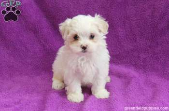 Lily Maltese Puppy For Sale From Gordonville Pa Greenfield