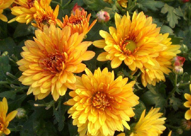 Bibit Yellow Chrysanthemum Bunga Seruni Benih