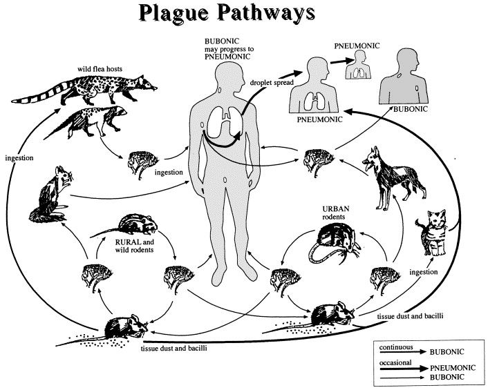 transmission of the plague to humans Human to human transmission of bubonic plague is rare bubonic plague can advance and spread to the lungs, which is the more severe type of plague called pneumonic plague pneumonic plague, or lung-based plague, is the most virulent form of plague.
