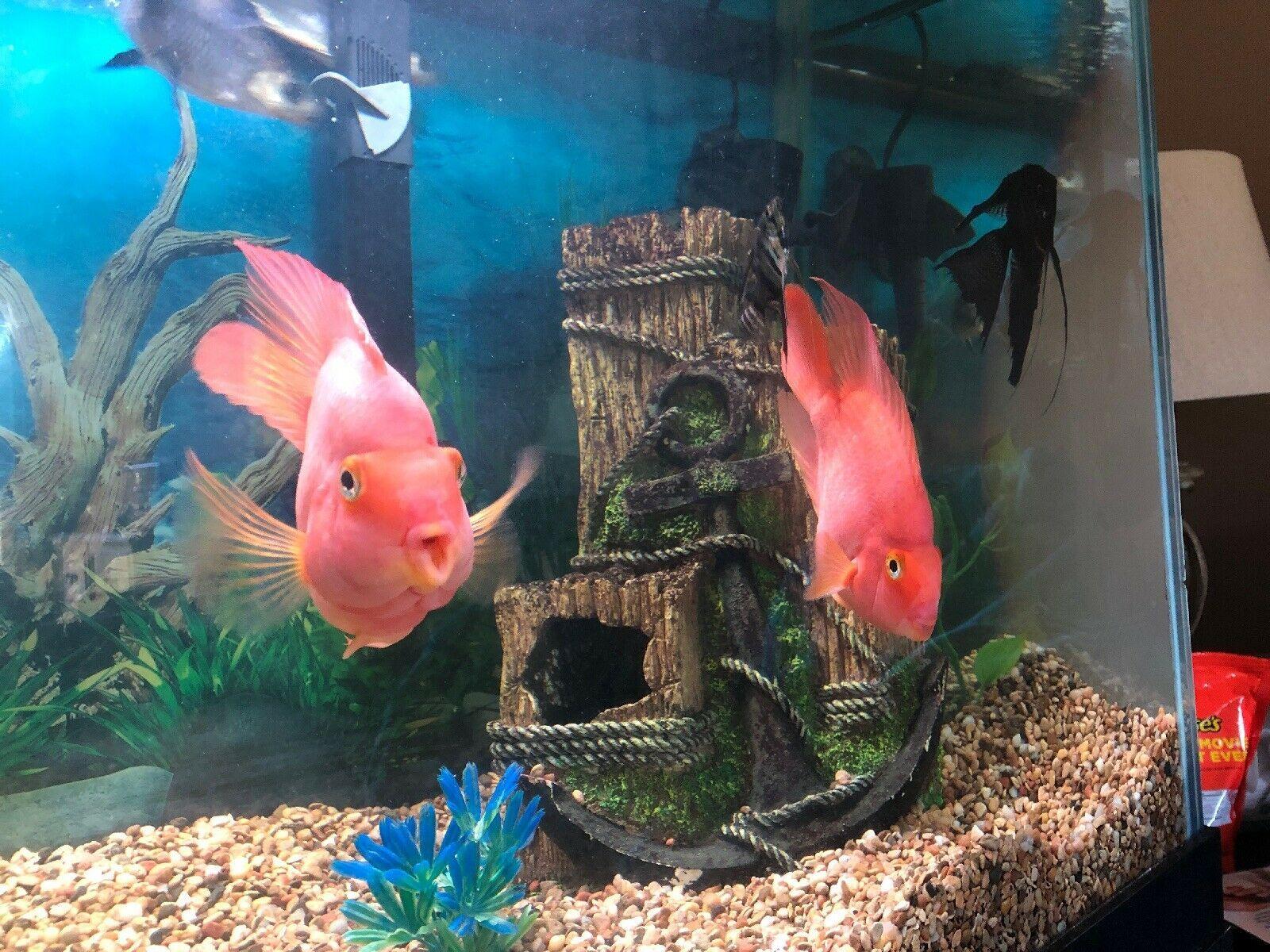 Large Pair Of Orange Male Female Parrot Fish Free Local Pickup Parrot Fish Fish Tropical Freshwater Fish