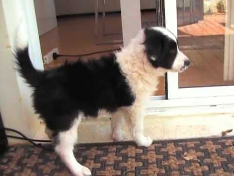 Daisy New Border Collie Puppy Day 2 She S 8 Weeks Old Youtube