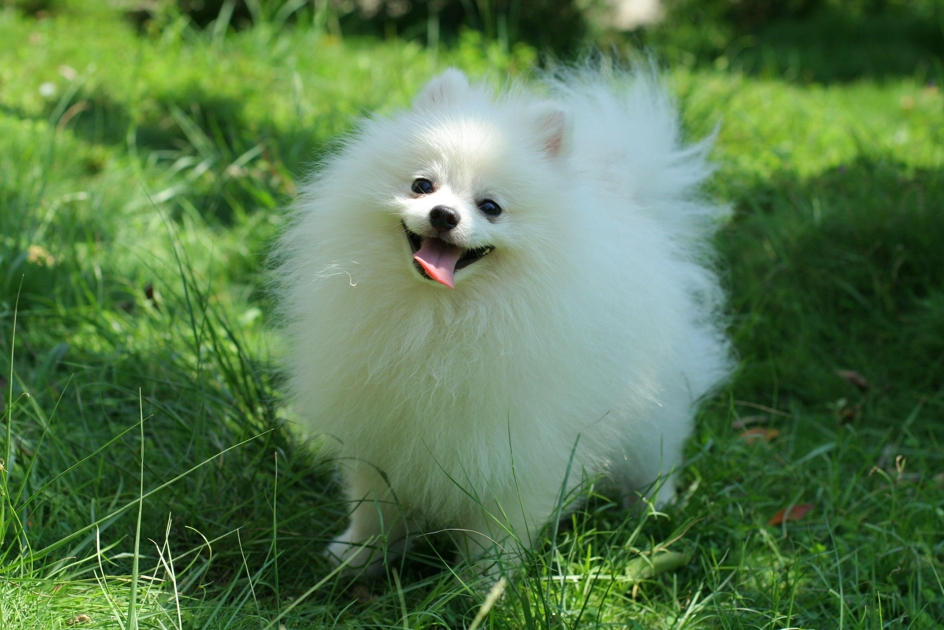 Pomeranian Pictures Photos Pics Pomeranian Dog White Pomeranian