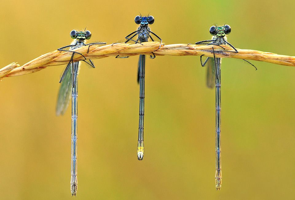 Just 3 dragonflies hanging out. Photo by: Aliona Shevtsova