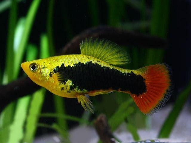 Hawaii P Variatus Pet Fish Fish Aquarium Fish