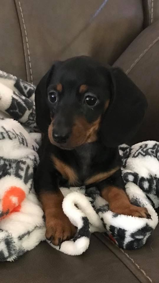 Pin By Val Kent On Dachshunds Baby Dogs Dachshund Puppies