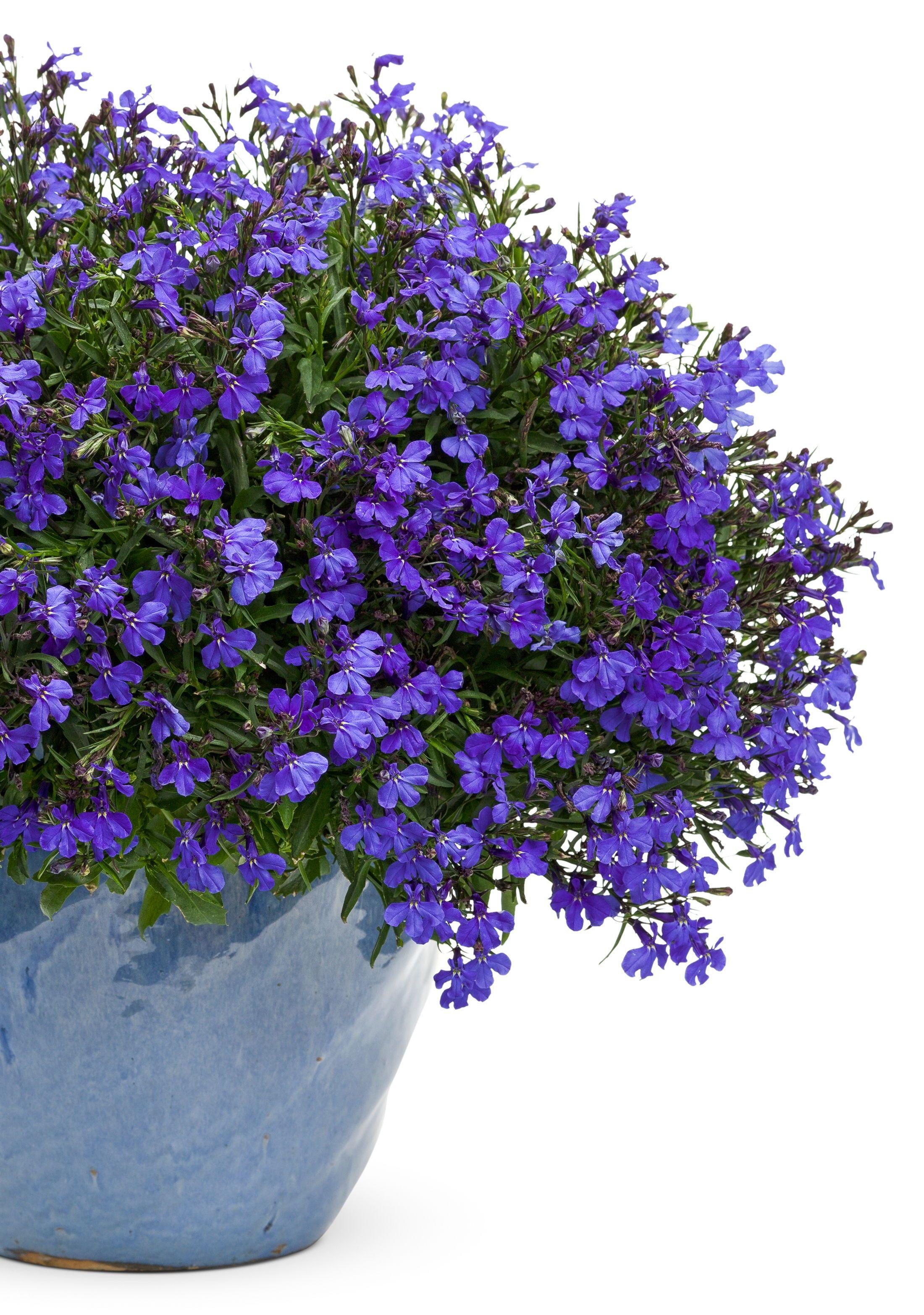 Bird Friendly Blue Flower Outside Plants Plants Blue Plants