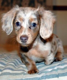 Chocolate Chip Cookie Dapple Dachshund Dachshund Breed Long