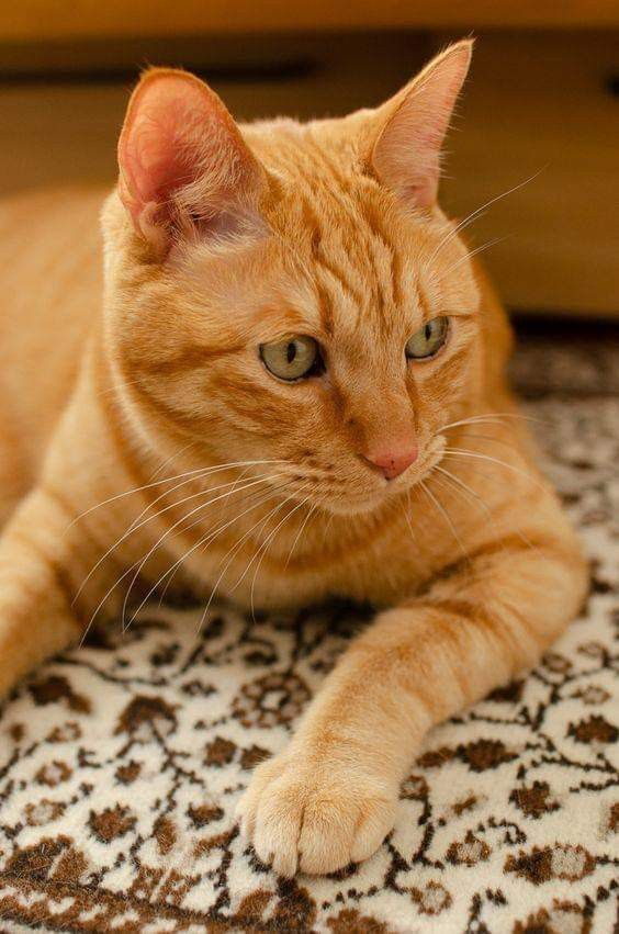 Pin By Sumaiya Khan On Cats 3 Orange Tabby Cats Tabby Cat Cute Cats