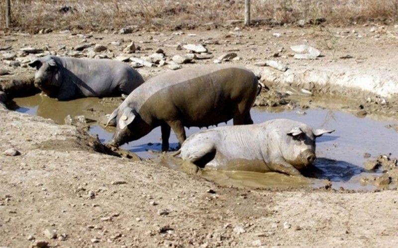 Comissão Europeia financia porco alentejano