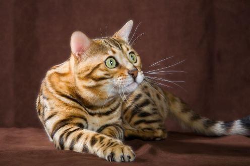 Silkenthunder Bengals Winnipeg Manitoba Can R3k 2e7 Cat Love Cute Animals Bengal Cat